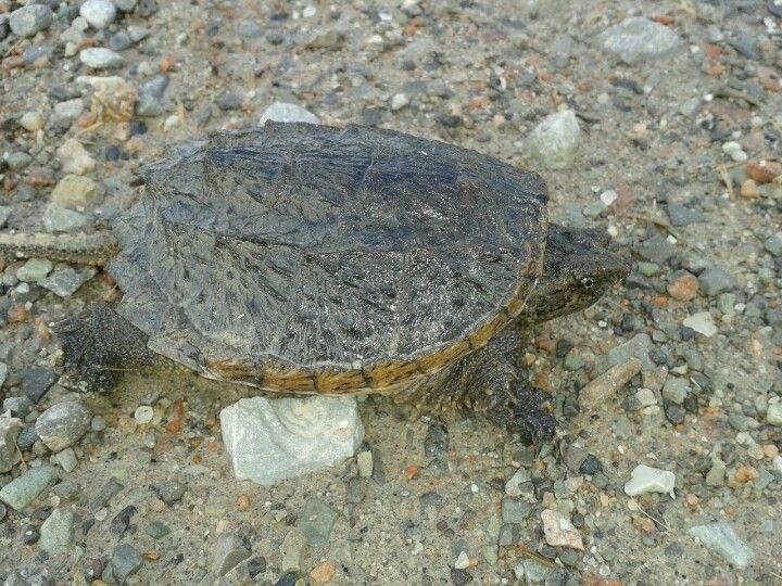 musk turtle? Tweed, Ontario