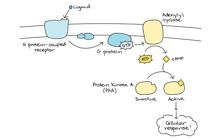 cyclic AMP: intracellular signal transduction