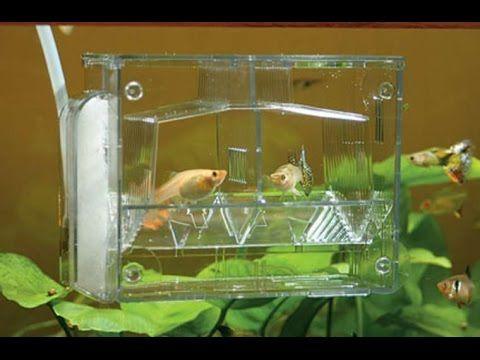#Домашний #аквариум #В #домашних #условиях #икра #рыбы #Нерестовик #свои...
