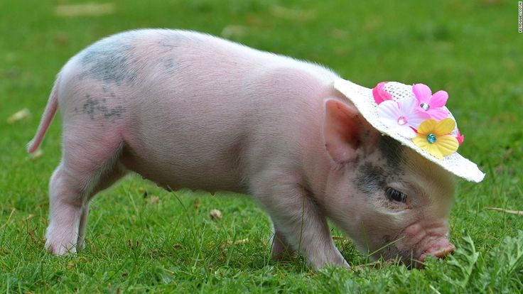 Miniature pigs have a typical lifespan of between 15 and 20 years, so owning one is a considerable commitment.
