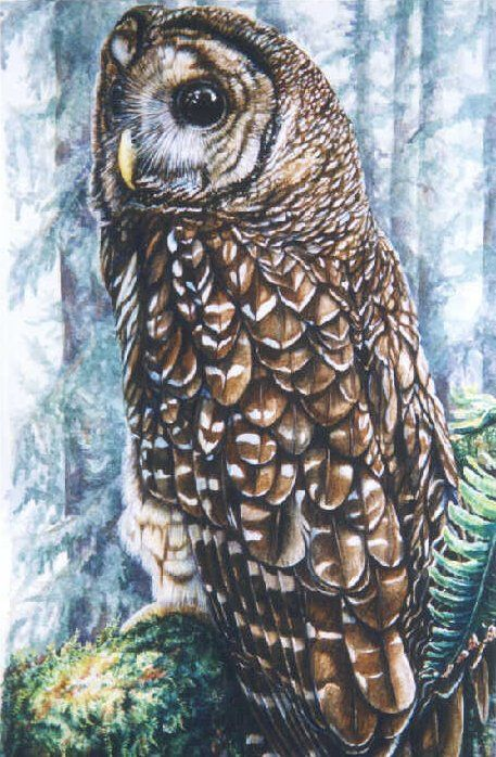 Northern Spotted owl by Linda Parkinson