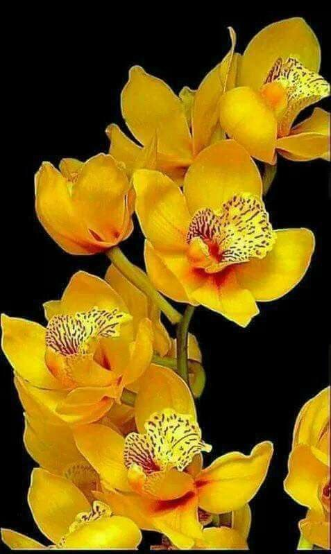 Cymbidium Orchis ♡*Thank You For Following Me!*♡ No pin limits for followers. My pins are your pins. Feel free to repin whatever you want and as much as you want. Please visit often and pin freely anytime.❤️ GOD BLESS YOU! Please Visit me at → https://www.pinterest.com/imjollyollie/