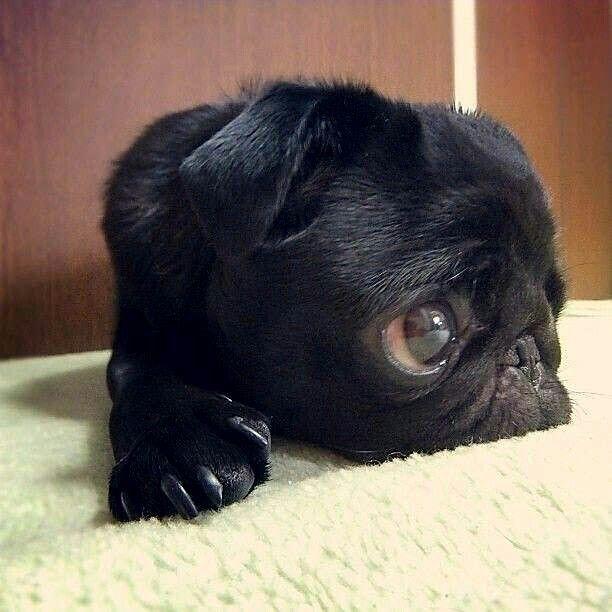 """The weekend is HOW far away?"" www.jointhepugs.com #PugPower #PugsofInstagram"