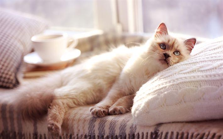 Download wallpapers Norwegian Forest Cat, 4k, cute cat, cats, pets, cute animals, Felis catus