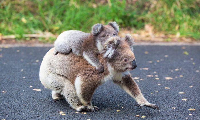 Koala Mom Saving His Children From Australia Fire Australiafire