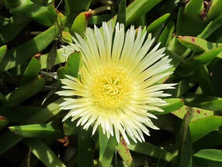 Carpobrotus edulis (Hottentot Fig, Highway Ice Plant, Cape Fig) → Plant characteristics and more photos at: http://www.worldofsucculents.com/?p=3271