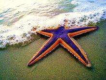 estrella de mar reproduccion - Buscar con Google
