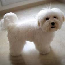 Mi hermosa Shitzu con su pelito ni muy largo ni muy corto ¿Siempre bella y dulce!    CUIDADOS DEL PELO  Como toda raza de pelo largo el ...