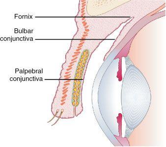 Congiuntiva: membr mucosa quasi traspar, ben vascolar riveste la superf intern delle palp. (cong. palpebrale),si riflette verso il bulbo formando spazio virtuale, fornice sup e inf (cong. dei fornici) e si distende sulla porzione ant della sclera (cong. sclerale=bulbare) ad eccezione della cornea. Ha  3 strati: epiteliale, linfoide e fibroso. Contiene gh. sierose, gh. e cell caliciformi mucipare. Il muco va a formare lo strato più int  mucoso del film lacrimale pre-corneale.