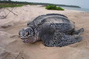 Gabon, West Africa...highest population of leatherback sea turtles.