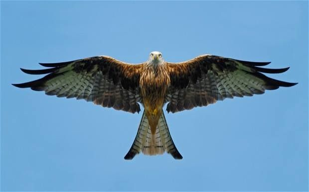 Flying falcon | Animals I love | Pinterest | Animal totems ...