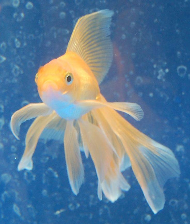 Goldfish - young Veiltail