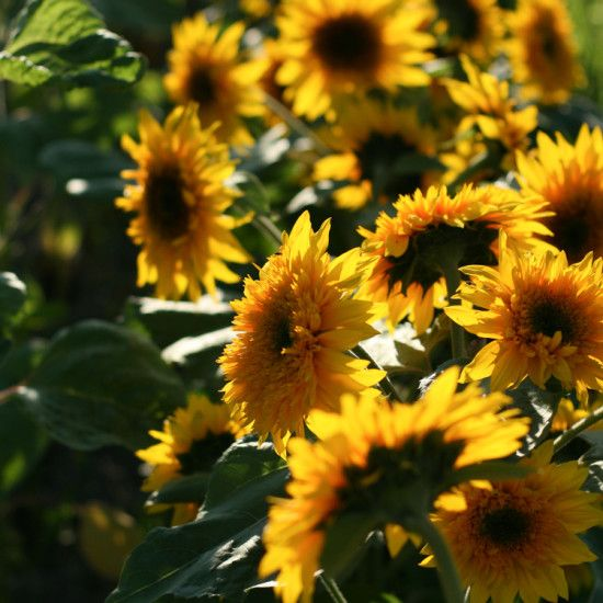 Sunflower Penache