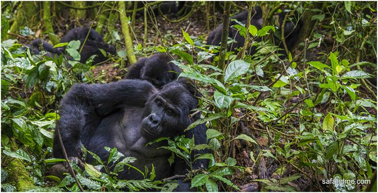 Do you know #UgandaSafaris is the great way to explore the #Gorillas From Under #AfricanBushes?
