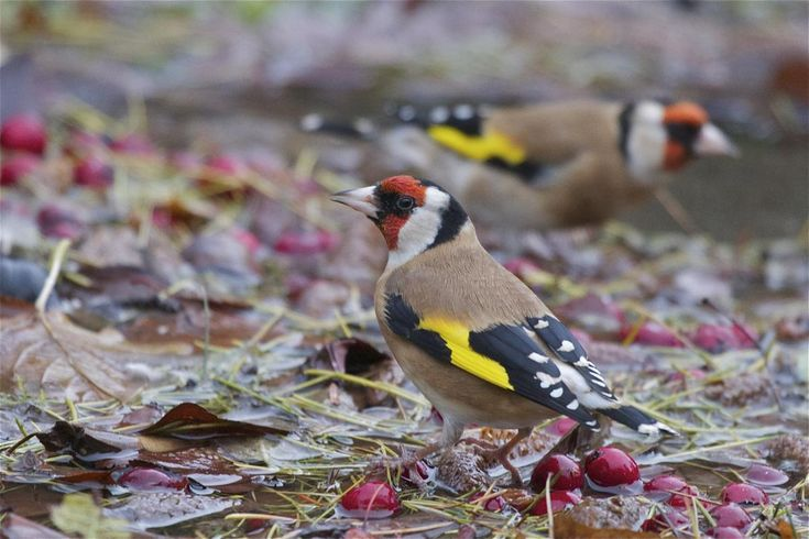 European goldfinch. Adults bathing . Christchurch Botanic Gardens, May 2014. Image © Steve Attwood by Steve Attwood http://www.flickr.com/photos/stevex2/