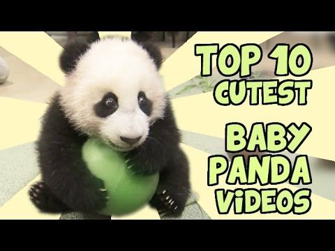TOP 10 Cutest  Baby Panda Videod ~ YouTube ~ pandas have to be one of the cutest animals...so fluffy & lovable❤
