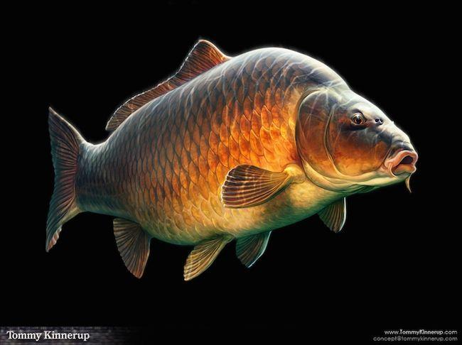 Common carp illustration