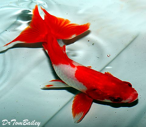 322 best koi and goldfish images on pinterest for Green koi fish for sale