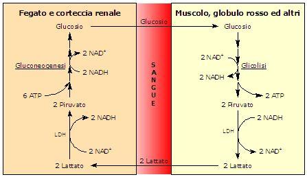 Ciclo di Cori o dell'acido lattico: definizione, biochimica, funzione. Dove avviene e a cosa serve. E' un ciclo futile?