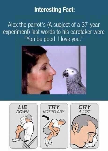 Alex the Aftrican Grey parrot's last words to his owner of 37