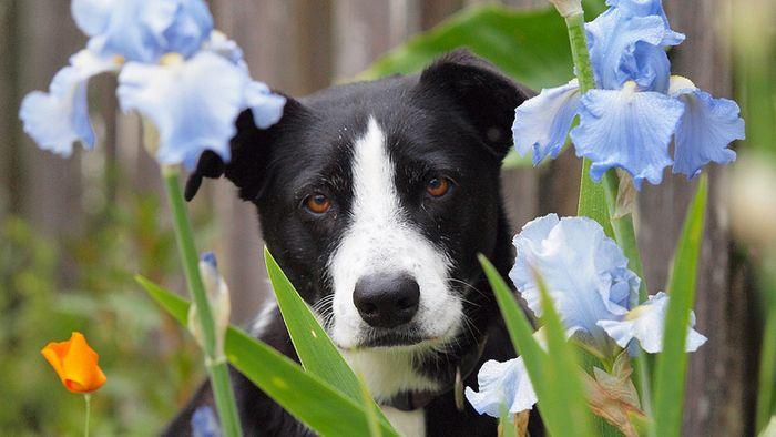 8 plantes toxiques pour les chiens   Guide du chien