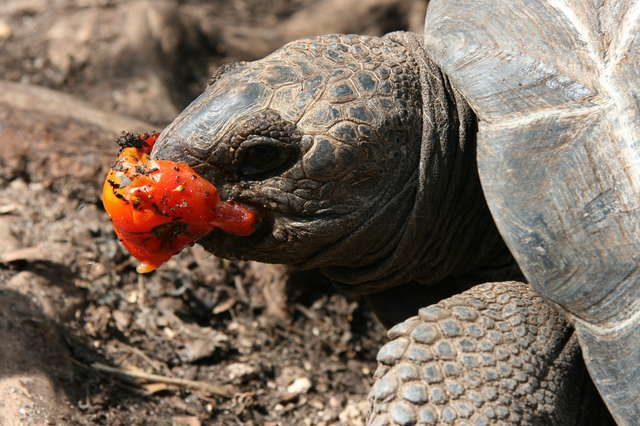 Baby Turtle Eating A Tomato