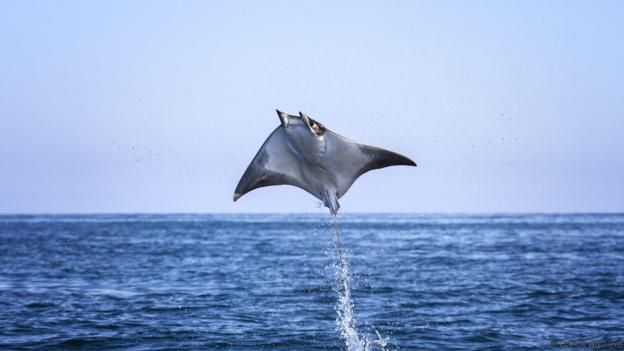 "Baja New Mexico - Soaring high above the waves as easily as a bird, mobula rays appear perfectly designed for this astonishing aerobatic display.  Closely related to sharks but with long, flat bodies and wing-like pectoral fins, they are ideally suited to swooping through the water yet seem equally at home in the air, so much so that they have earned the name ""flying rays"".  Mobula rays can reach heights of more than two metres (6ft 6ins), remaining airborne for several seconds."