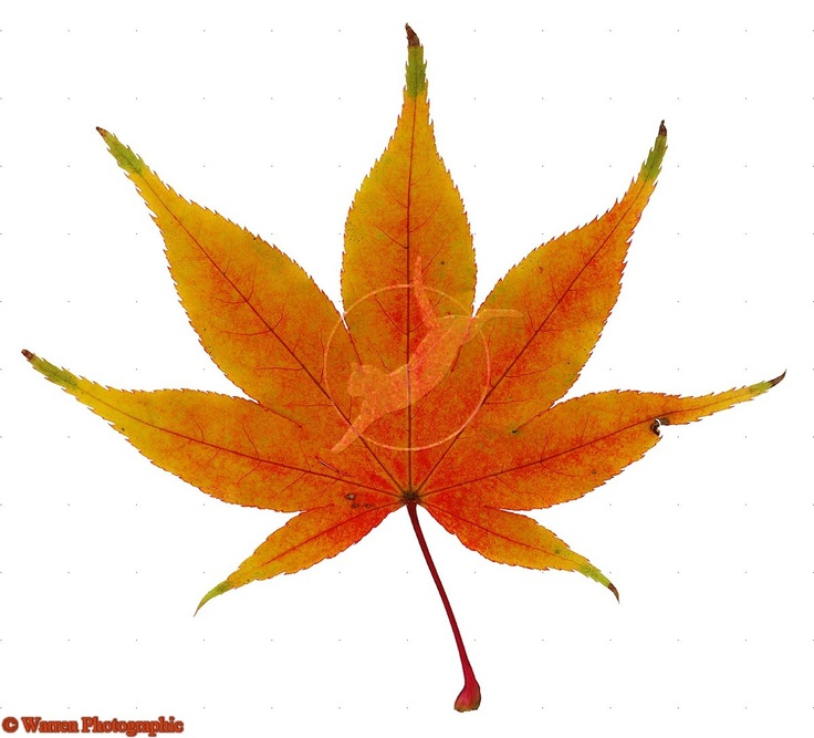 Japanese Maple Leaf Google Search Wednow I Pinterest