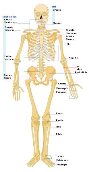 There are 206 bones in the human body. Over half of these bones are in the hands, which have 54 bones, and the feet, which have 52 bones. Here is the full list:
