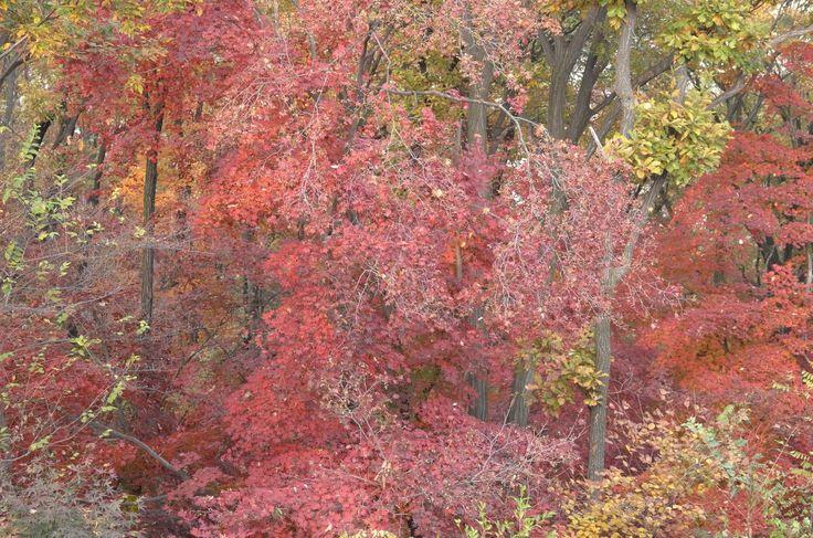 Autumn leaves in Seoul