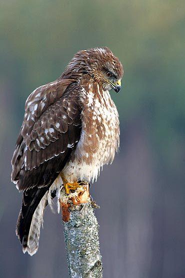 Bird of Prey or The Philosopher