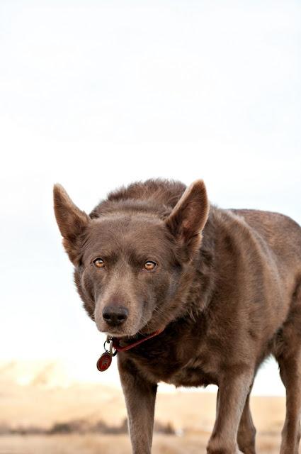 such a beautiful dog, a kelpie (austrailian sheep dog)
