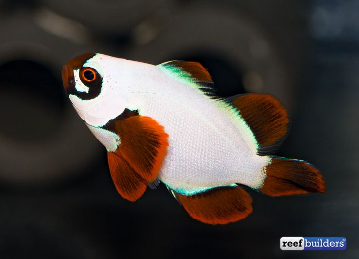 811 best images about fish damselfish and clownfish on for Exotic saltwater fish