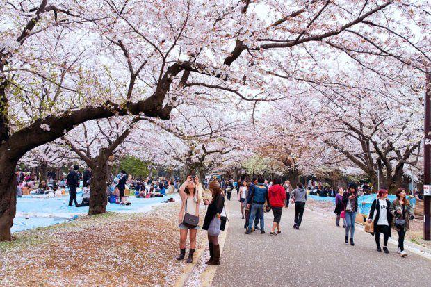 Floração de cerejeiras no Parque Yoyogi (Foto: Creative Commons Asia)