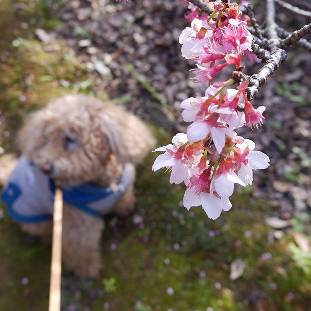 【hitoshi_3512】さんのInstagramをピンしています。 《今日はワンコと初詣(U^ェ^)ワンワン 諏訪神社、松森天満宮の参拝を済ませ、 西山神社まで・・・ 「元日桜」と呼ばれる早咲きの桜が見頃になっていました。  #Lumix #GX7 #NAGASAKI #CherryBlossoms #toypoodle  #長崎 #初詣 #西山神社 #桜 #トイプードル》