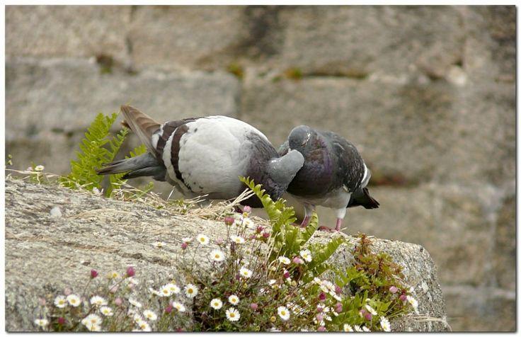 Pigeon ramier (période des amours)