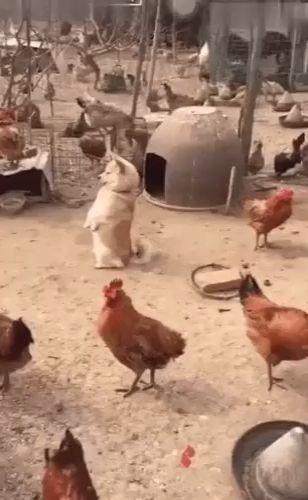 Auf dem Bauernhof kann Hund auf zwei Fuß wie Hühner stehen