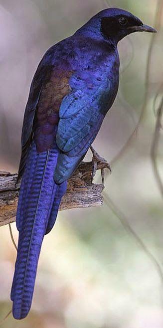 Meve's Starling, native to Angola, Botswana, Malawi, Mozambique, Namibia, South Africa, Zambia & Zimbabwe.