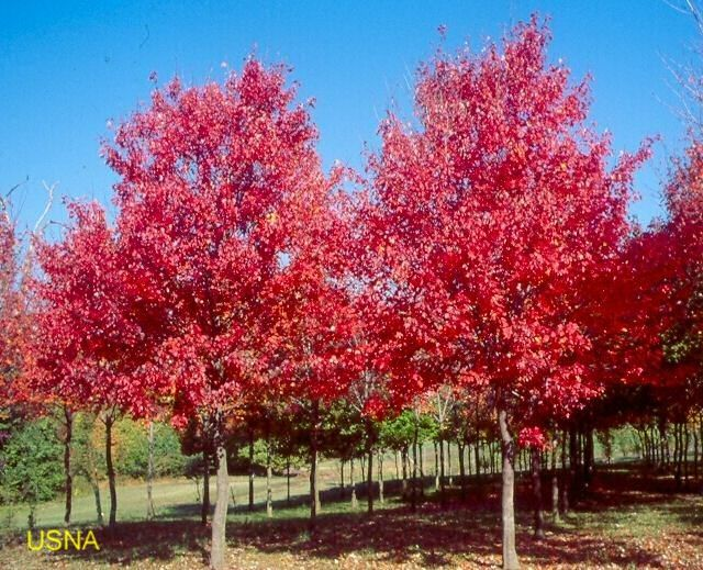 Red Maple 'Sun Valley'. Acer rubrum. 40' tall. Resistant to potato leafhopper, symmetrical crown, early and consistent fall color.