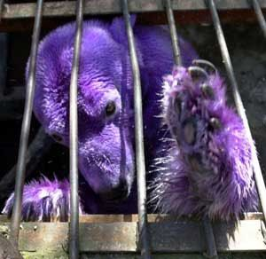 A real purple polar bear. Willie, you might have some competition here!