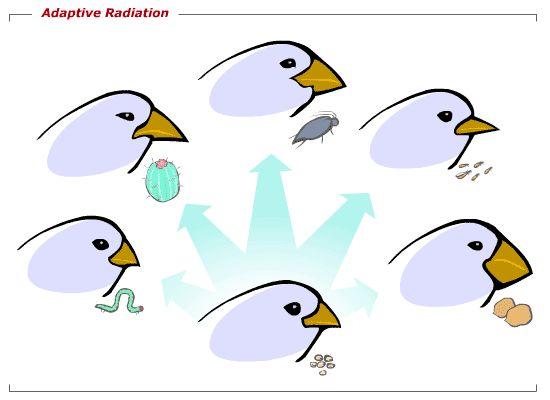 Adaptive Radiation | Education evolución | Pinterest ...