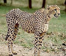 The Asiatic cheetah is now listed as critically endangered in the IUCN Red List of Threatened Animals. Following the Iranian Revolution of 1...