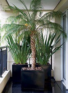 Phormium tenax e Palmeira phoenix
