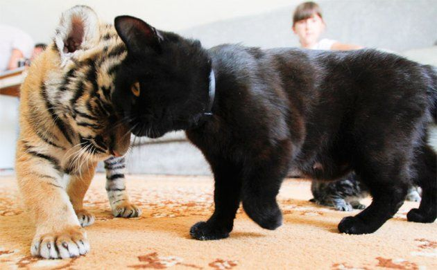 Siberian tiger cub, Clyopa, plays with cat, Masyanya, in the house of Yekaterina Khodakova, whose Shar Pei dog Cleopatra is breastfeeding Clyopa and her siblings.: Cats, Shar Pei, Tiger Cubs, Sharpei, Cat Photo, Tigers Cubs, Black Cat, Animal, Furry Friends