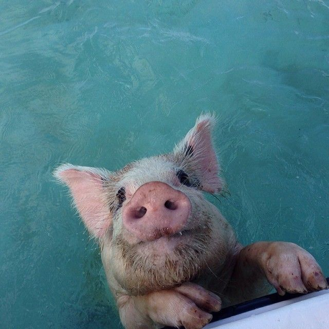 Forget swimming with the dolphins…The Exumas have swimming pigs! Photo courtesy of tracyzimmer98 on Instagram.