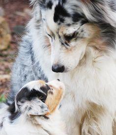 Australian Shepherd & Her Pup ~ Classic Look