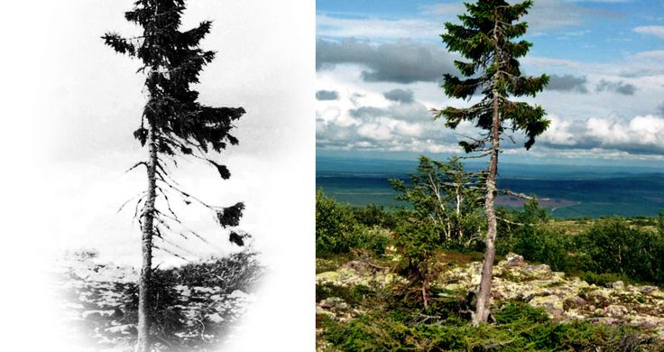 And you thought you felt old. In Sweden atop the Fulufjallet Mountain, there exists the world's oldest tree: a 9,550-year-old spruce named Old Tjikko.