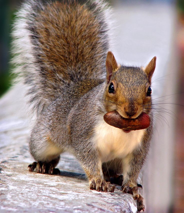 Squirrel with nut...looking for a good hiding spot?