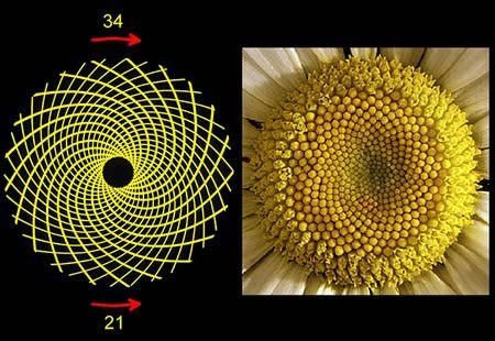 Eğer bir bitkiyi dikkatle incelerseniz fark edersiniz ki, yapraklar hiç bir yaprak alttaki yaprağı kapamayacak şekilde dizilmiştir. Bu da demektir ki, her bir yaprak güneş ışığını eşit bir şekilde paylaşıyor ve yağmur damlaları bitkinin her bir yaprağına değebiliyor.