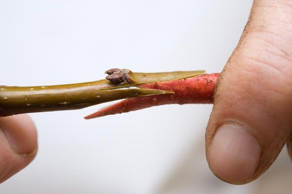 Самый простой и доступный способ прививки деревьев